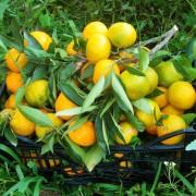 orangenpresse-vive-citrus-13