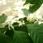 haessig-und-haessig-yeti-kaffee-bio-nepal-1