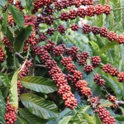 haessig-und-haessig-yeti-kaffee-bio-nepal-3